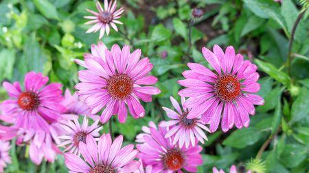 Purple Echinacea flower in a garden. Imagens