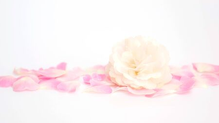White and pink rose flower on a white background, soft focus.