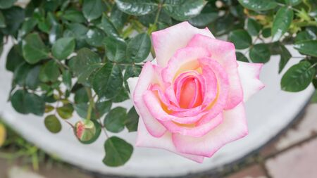 Pink roses flower in the garden. Banque d'images - 132109237