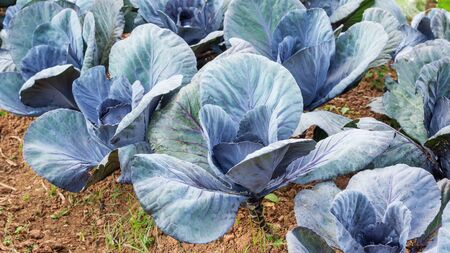 Cabbage plant in a vegetable garden.