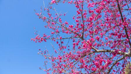 Pink cherry blossom (sakura) in a garden.