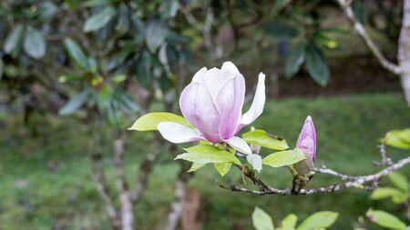 Pink Magnolia flower in a garden. Reklamní fotografie