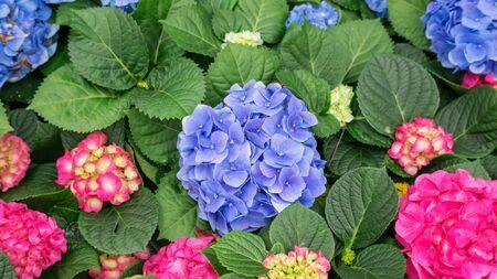 Blue and pink hydrangea flower in a garden.