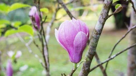 Pink Magnolia flower in a garden. 免版税图像
