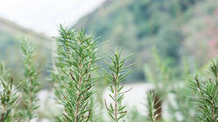 Green rosemary plant in a vegetable garden. Reklamní fotografie