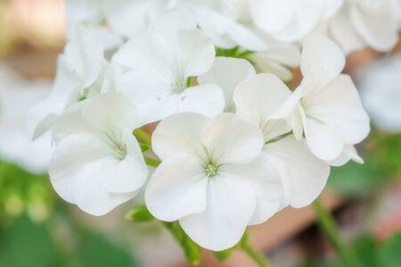 White Geranium flower in a garden.