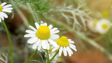 White camomile flower plant in a garden. Reklamní fotografie