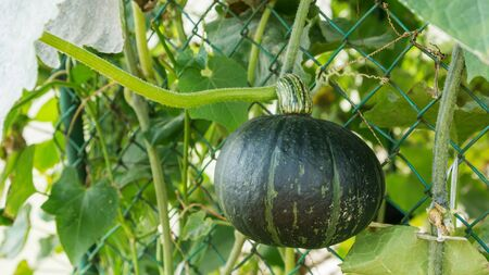Pumpkin plant in a vegetable garden. Stock Photo
