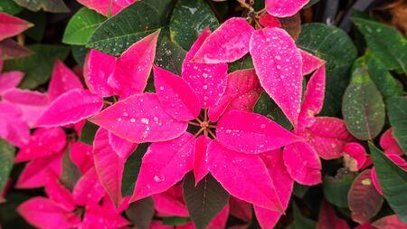 Red poinsettia plant in a garden. Reklamní fotografie