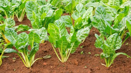 Green swiss chard plant in a vegetable garden.