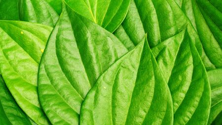 Close up of green betel piper leaf for a background.