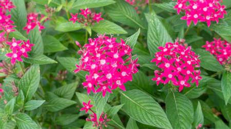 Pink Egyptian starcluster flower in a garden.