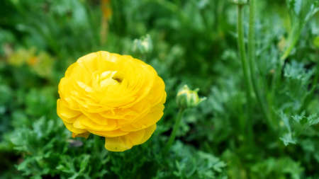 Yellow Ranunculus flower in a garden.
