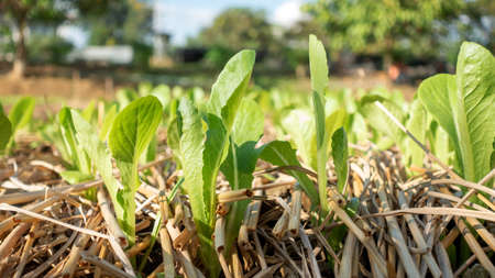 Green cos lettuce plant in a vegetable garden.