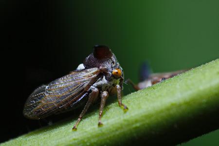 aphid:  aphid cicada Stock Photo