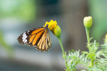 nectar: Butterfly sucking nectar from flowers