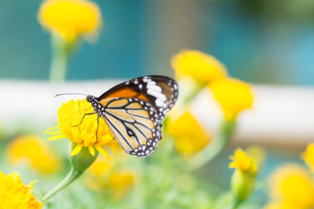 sucking: Butterfly sucking nectar from flowers