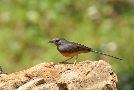 songster: The White-rumped Shama is a small passerine bird of the family Muscicapidae. Native to densely vegetated habitats in the Indian Subcontinent and Southeast Asia, its popularity as a cage-bird and songster has led to it being introduced elsewhere.