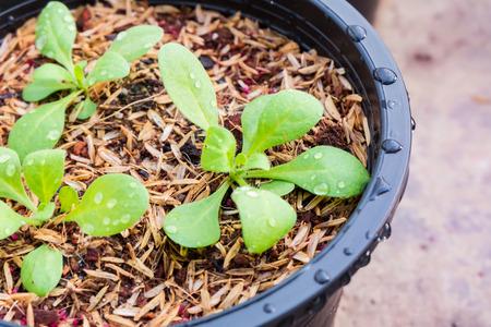 seedlings: Potted seedlings growing.