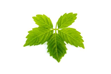 Leaf of jiaogulan on white background.