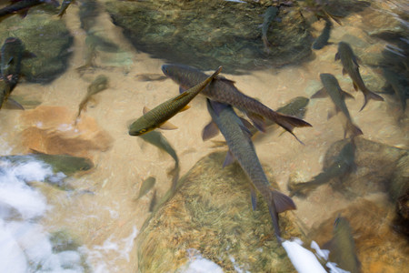 Mahseer Barb fish at Phlio Waterfall national park in Chanthaburi, Thailand. Subject is blurred and low key.