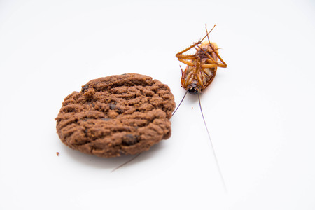 pest control: isolate cockroach with chocolate cookies on white background. selective focus