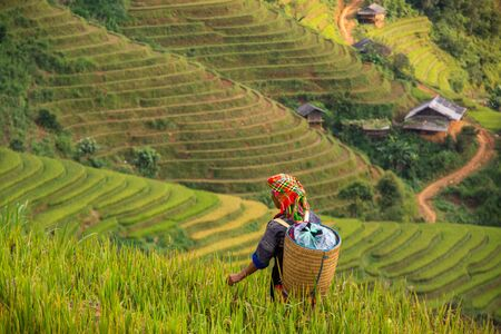local people in Mu Cang Chai, Vietnam she's farmer harvest rice at rice field at sunny day. soft focus. Stock fotó