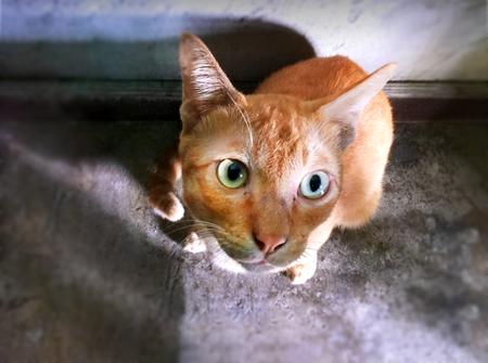humor: Orange Thai Cat Starring Up Stock Photo
