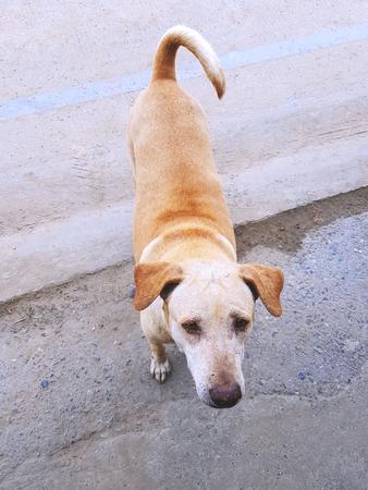 Close-up Brown Stray Dog Looking At Camera