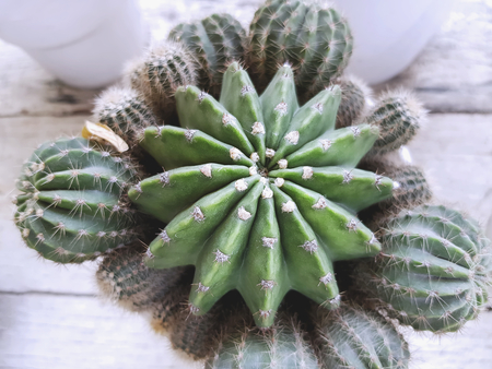 Spiky Cactus in Small White Pots for Room Decoration Viewed From Top