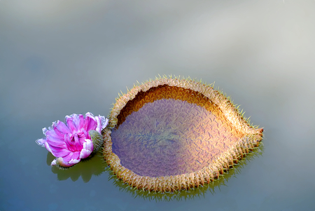 Unique Shape Spiky Waterlily Floating In the Pond Imagens