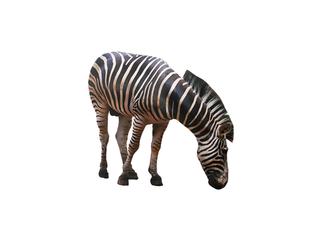 Zebra Head Down Isolated on White Background