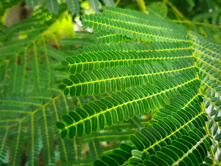 Full Frame Background of Fresh Green Tamarind Leaves with Selective Focus