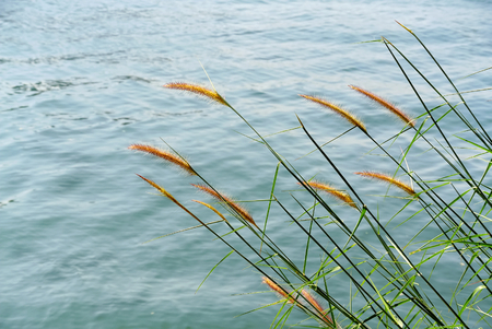 Tranquil Scene of Palea Grasses In the Wind by the Sea