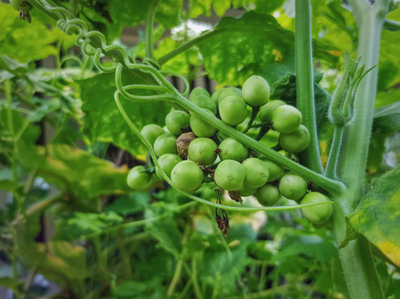 Bunch of Fresh Green Pea Eggplants on the Tree