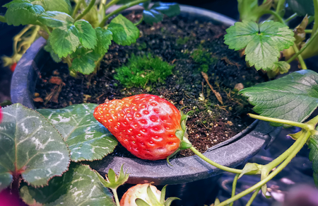 High Angle View of Fresh Potted Strawberry Fruit