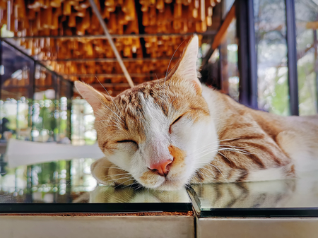 Cute Adorable Domestic Cat Sleeping on Mirror Table