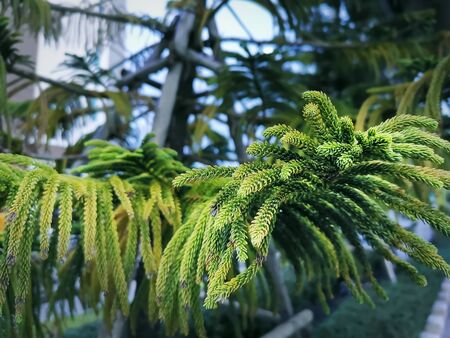 Close-up Leaves of Norfolk Island Pine with Selective Focus Stock Photo