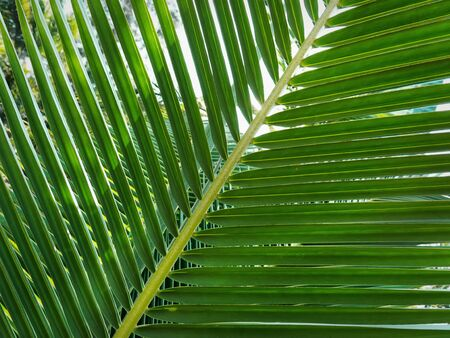 Close-up Fresh Green Palm Leaves at Garden