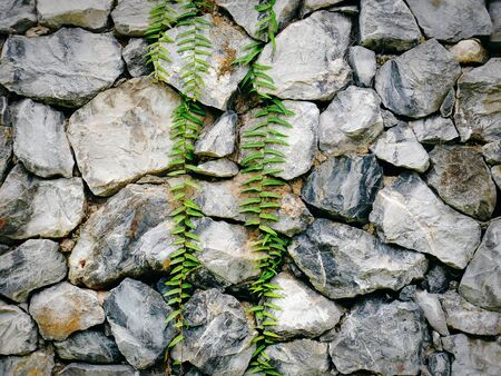 Full Frame Rock Wall with Green Climbing Ivy