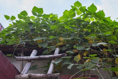 leaves of hyacinth bean or lablab vine plant in home organic garden. green fresh leaves creating beautiful pattern for background. natural shot.