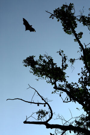 wilds: The bat on the sky in the forest of Thailand