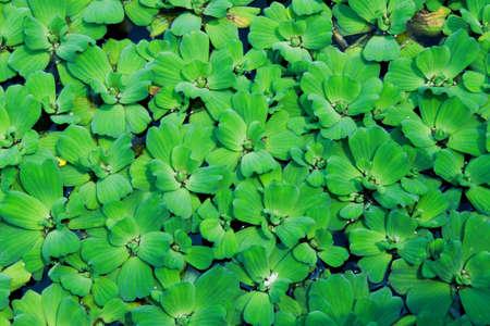 duckweed: Aquatic weeds duckweed natural abstract