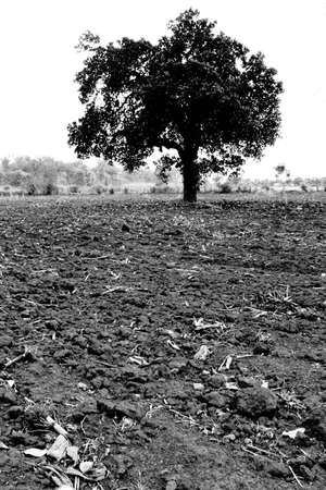 Alone tree between field photo