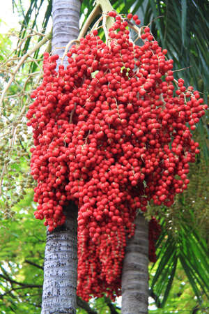 Areca (Betel Nuts) Scientific name Areca catechu Linn Betel Nut Or Areca Nut Palm On Tree  Stock Photo