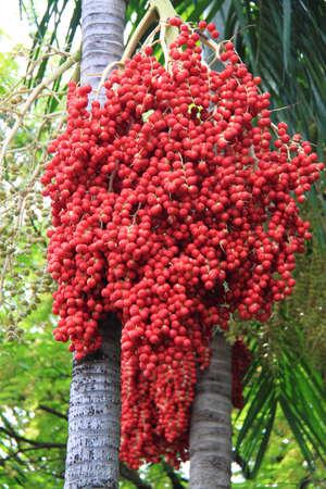 betelnut: Areca (Betel Nuts) Scientific name Areca catechu Linn Betel Nut Or Areca Nut Palm On Tree  Stock Photo