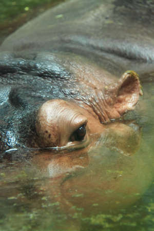 close up shot of hippos eye in water  photo