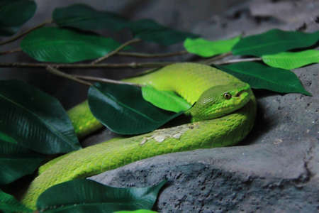 Top predators reptiles snake cobra green photo