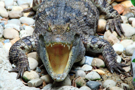 Reptiles, freshwater crocodiles photo