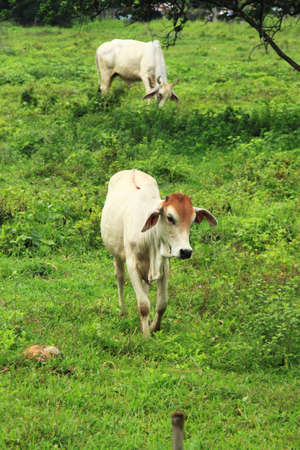 cow and calf  photo